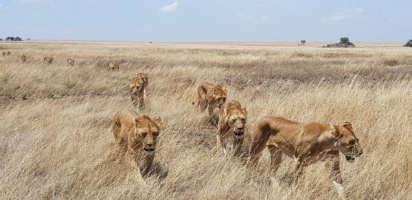 Lions are walking